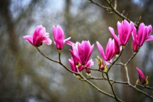 geen bloemkoppen van de magnolia snoeien