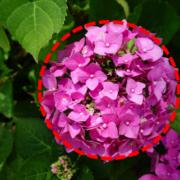 gewone hortensia ronde bloemen