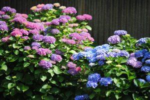 hortensia planten op de halfschaduw