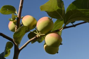 onderhoud belangrijk bij fruitboom