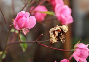 snoei oude bruine rozenstruiken takken