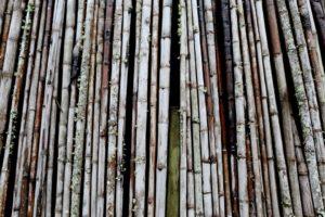snoeien oude bamboe stengels