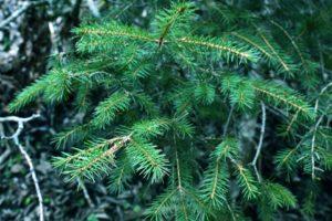 snoeien van rare takken bij de naaldboom
