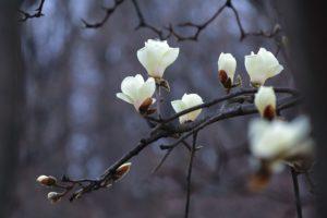 snoeien van takken magnolia