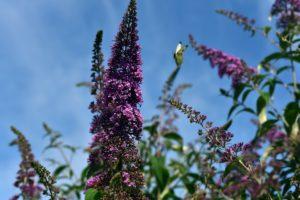 snoeien vlinderstruik toppen in juni