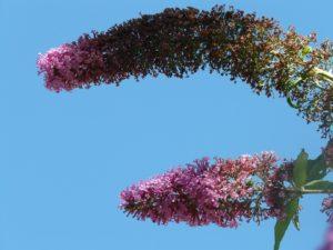 stekken met toppen van de vlinderstruik