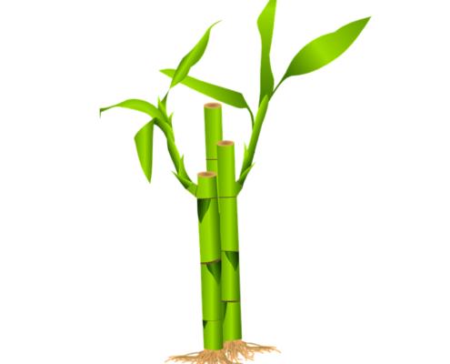 bamboe snoeien