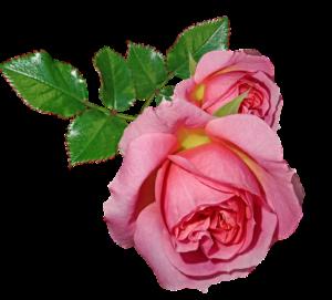bij rozen stekken bloem en bladeren verwijderen