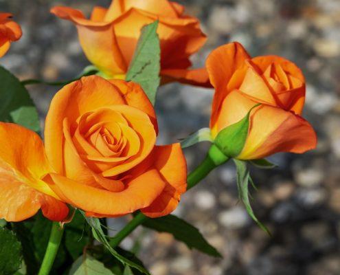 rozen stekken